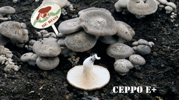 Cardoncello Ceppo E+