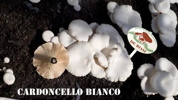 Cardoncello Bianco