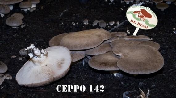 Cardoncello Ceppo 142