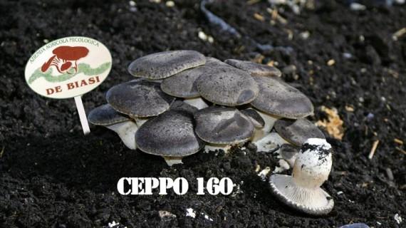 Cardoncello Ceppo DB160