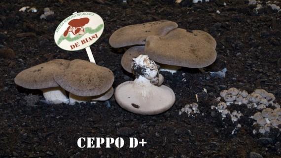 Cardoncello Ceppo D+
