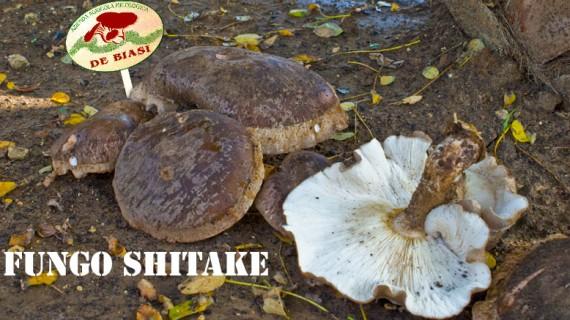 Fungo Shiitake